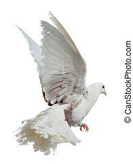 branca, Pomba, voando, alto