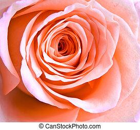 pink rose petals - a close-up of pink rose petals