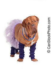 French mastiff ballerina - Funny looking french mastiff...