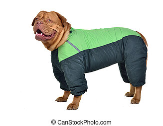 Dog dressed with green raincoat against white background
