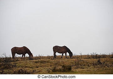 Dartmoor ponies - Wild ponies on Dartmoor moor, England