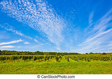 beautiful rapes in the vineyard - cluster of white grapes in...