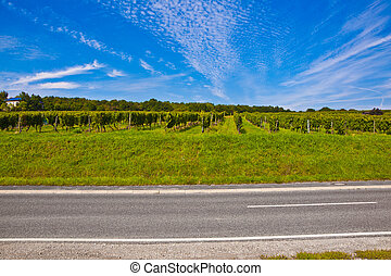 beautiful rapes in the vineyard with street - cluster of...
