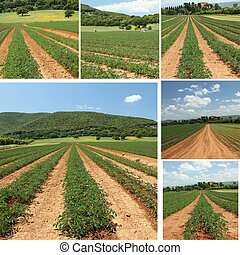 collage with tomato fields