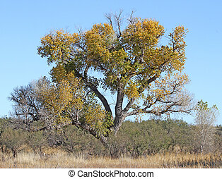 Old Cottonwood at Arivaca - Old cottonwood tree in meadow in...