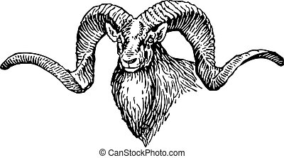 Goats head with big horns on white background