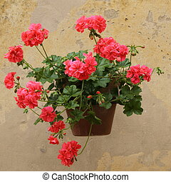 geranium on wall, Tuscany