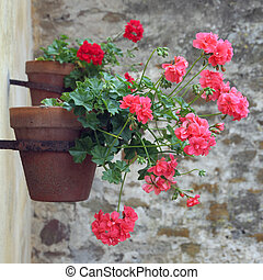 geranium on wall
