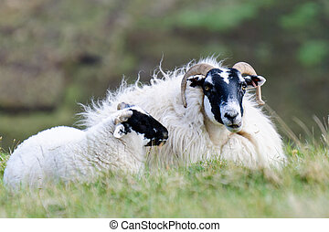 Resting Scottish blackface sheep with lamb, Scotland -...