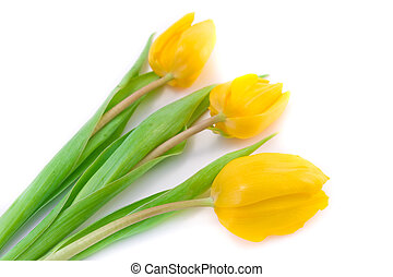tulips - spring tulips on white background