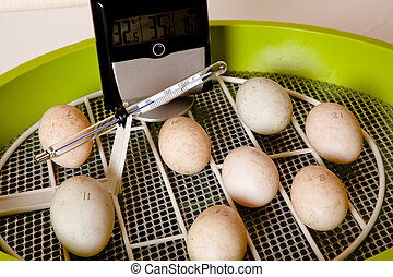 Automatic egg incubator - Eggs in an incubator with wire...