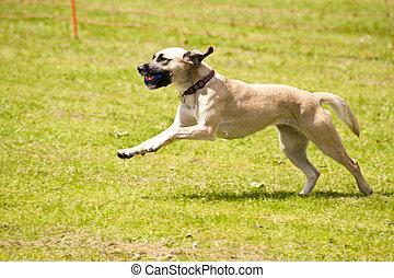 carrera, perro