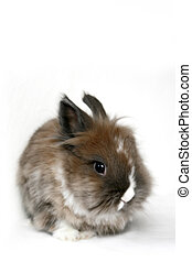 fluffy bunny isolated on white background