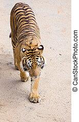 tiger, kicsapongó élet