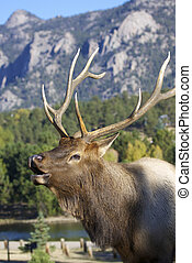 Bugling Bull Elk Portrait - a close up of a bull elk bugling...