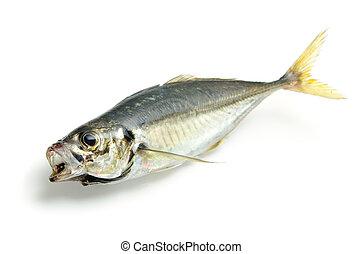 fresh horse mackerel