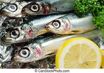 pacific round herring