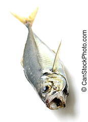 fresh horse mackerel