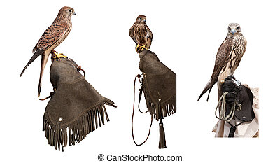 Set of falcons on glove - Set 3 falcons on falconers glove