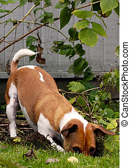 Jack Russell Terrier digging - Brown and white Jack Russell...