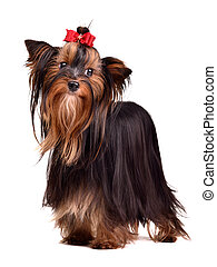 Beautiful Yorkshire Terrier, isolated on white background