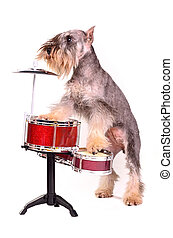 Dog with a drum kit, studio shot