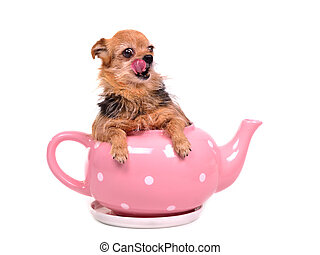 Small dog inside the tea pot, licking it's nose, isolated