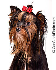 Splendid yorkshire terrier portrait