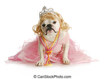 spoiled dog - spoiled female dog - english bulldog dressed...