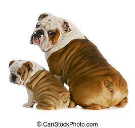 dog father and son - english bulldog father and son sitting...