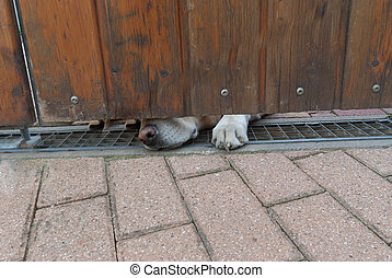 Guard dog sniffing under a door - Guard labrador retriever...