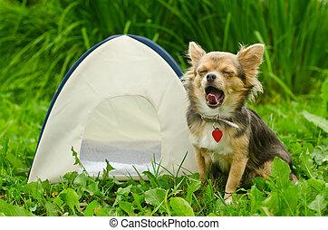 Yawning chihuahua dog sitting near camping tent at sunny...
