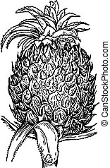 Pineapple - Nice pineapple on white background