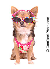 Chihuahua puppy wearing pink sun glasses and t-shirt...