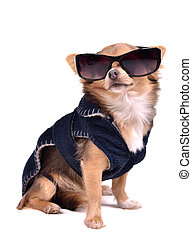 Serious chihuahua dog wearing dark blue jacket and black...