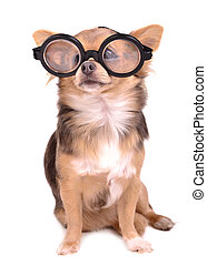 Cute chihuahua puppy with high diopter thick glasses,...