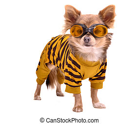 Chihuahua puppy wearing yellow suit and goggles isolated on...
