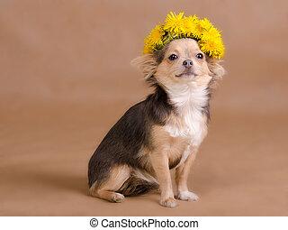 Llevando,  Chihuahua, diente de león, guirnalda, retrato, perrito
