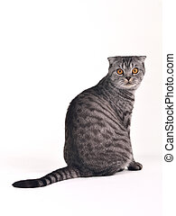 Scottish fold cat sitting isolated