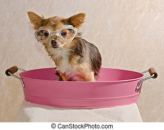 Chihuahua puppy taking a bath wearing goggles sitting in...