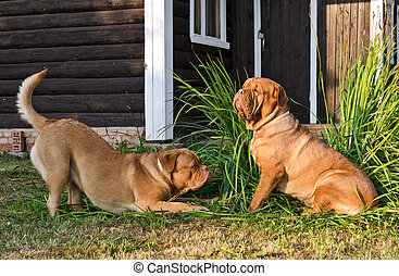 Two dogs of Dogue De Bordeaux breed playing near wooden...