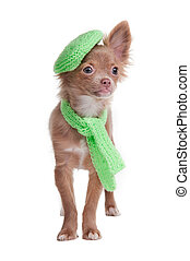 Chihuahua puppy wearing beret and scarf - Chihuahua puppy...