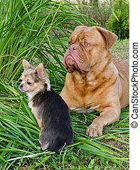Two dogs friends lying on the grass - Big and small dogs...