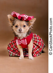 Chihuahua puppy wearing red chequered dress and cap isolated