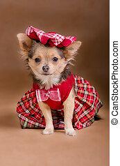 Chihuahua, perrito, Llevando, rojo, chequered, Vestido,...