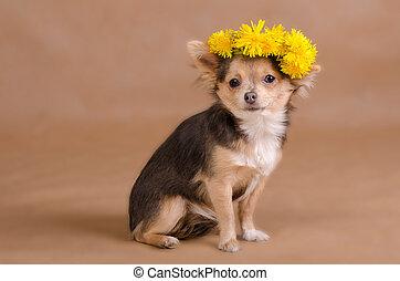 Llevando,  Chihuahua, guirnalda, perrito, amarillo, retrato, flores