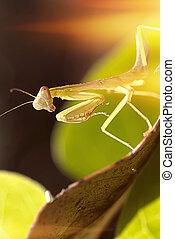 closeup Mantis  - closeup Mantis