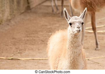Guanaco cub in captivity, shot taken in Kaunas Zoo
