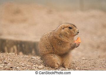 Prairie Dog eating carrot shot was taken in Kaunas zoo