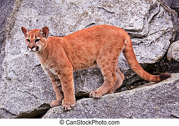 Young Mountain Lion Cougar Puma Concolor - Young Mountain...